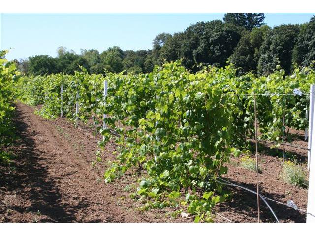 Vineyard posts